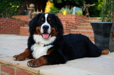 bernese_mountain_dog_5201343